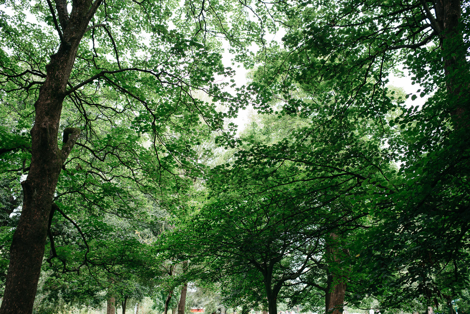 Lush green tree canopy in Bute Park in summer