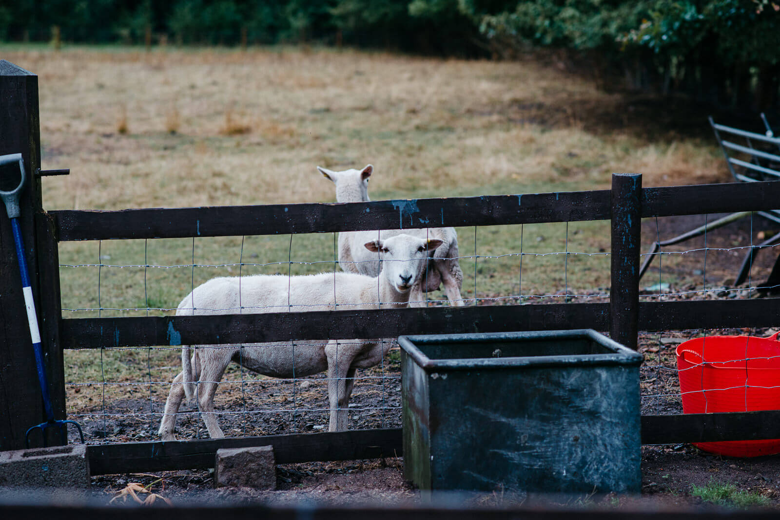 Sheep at brides Shropshire home