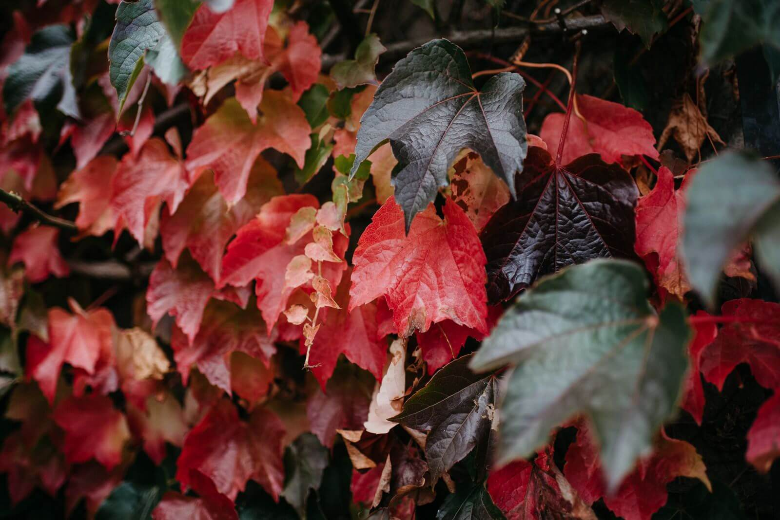 Autumn ivy leaves at New House Hotel, Cardiff