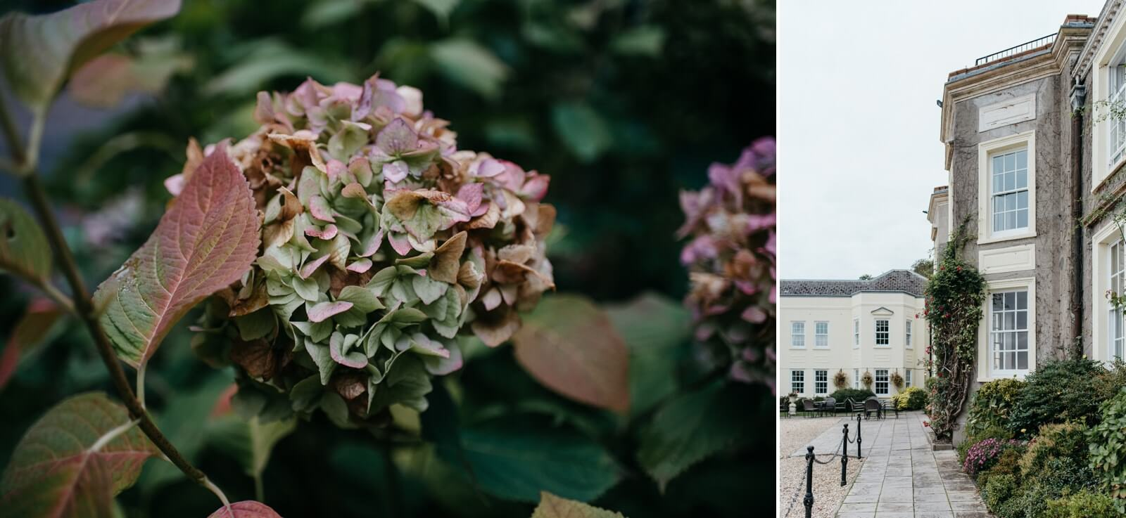 Autumn hydrangeas at New House Hotel, Cardiff